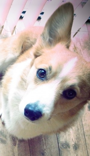 ジルバ(コーギー♂9歳)
